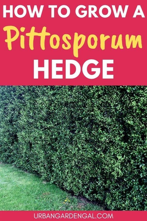 grow pittosporum hedge