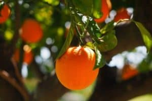How To Fertilize Fruit Trees