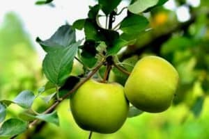 10 Green Fruits For Your Garden