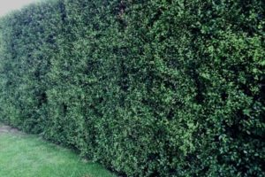 How To Grow A Pittosporum Hedge