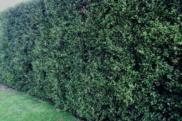 How To Grow A Pittosporum Hedge