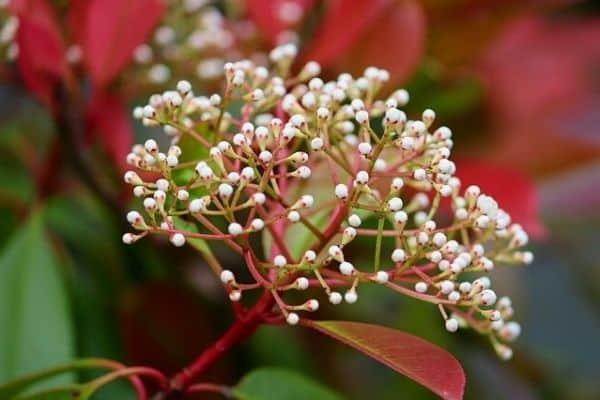 photinia flower