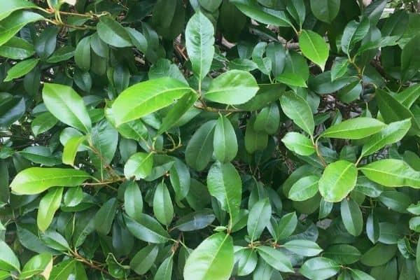 photinia foliage
