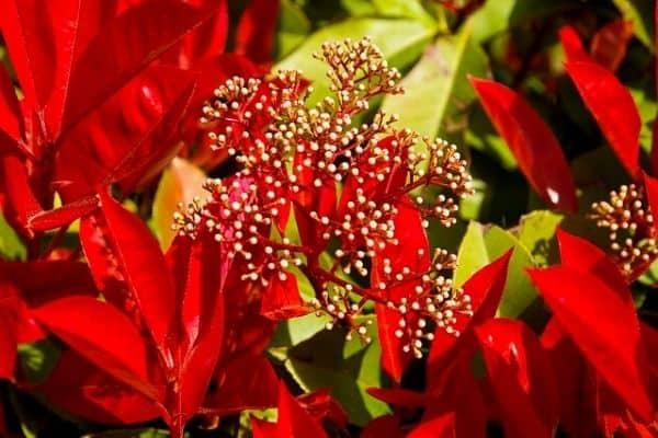 How To Grow A Photinia Hedge