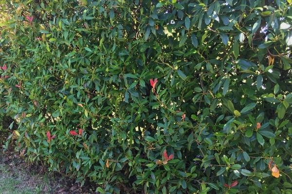tall photinia hedge