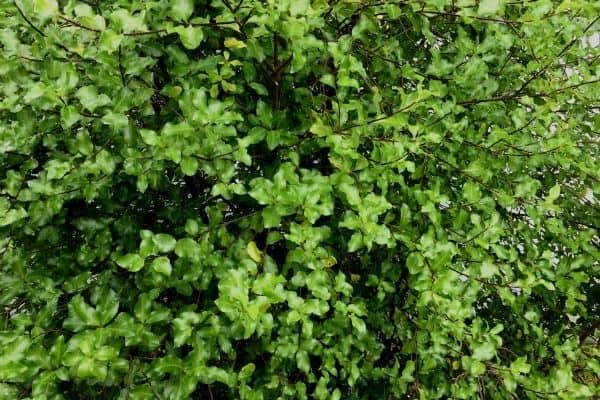 pittosporum hedge