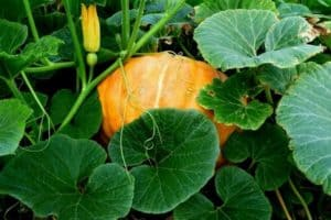 Pumpkin Growth Stages