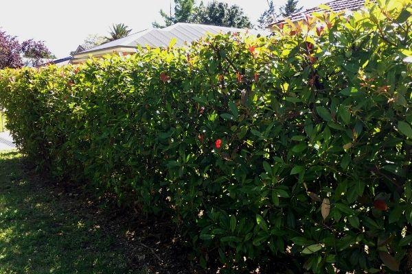small photinia hedge