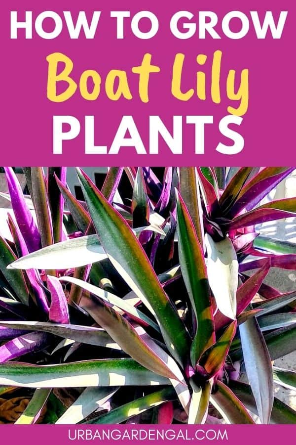 growing boat lily plants