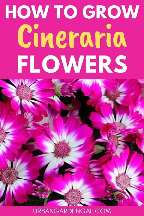 growing cineraria flowers