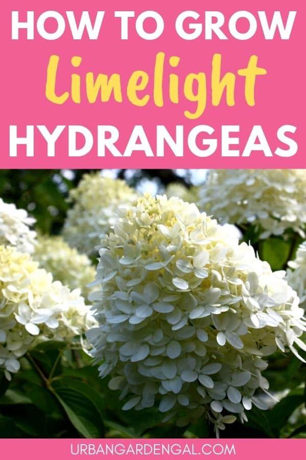growing limelight hydrangeas