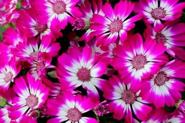 How To Grow Cineraria Plants
