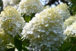 How To Grow Limelight Hydrangeas