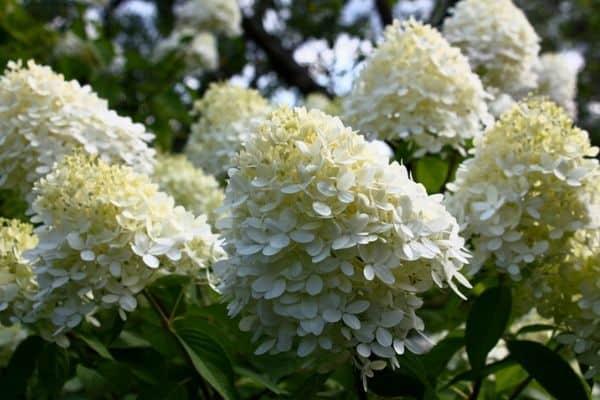 limelight hydrangea plants