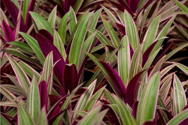 striped boat lily plants