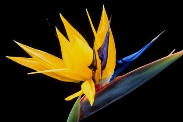 yellow bird of paradise flower