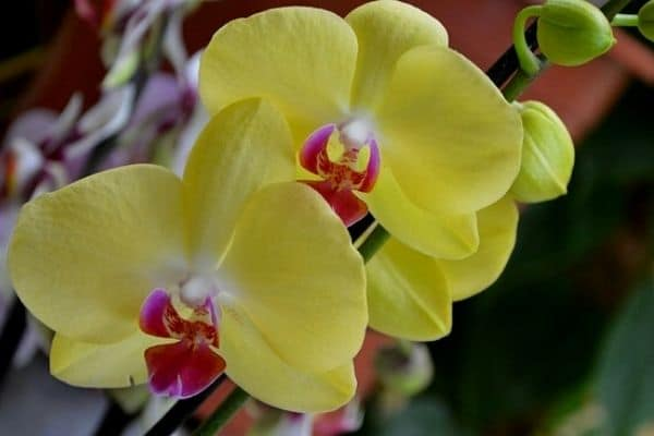 yellow flowering houseplants