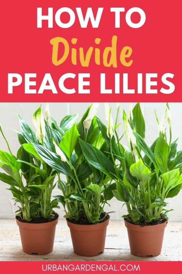 how to divide peace lilies