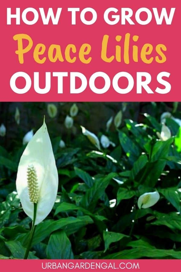 grow peace lily outdoors