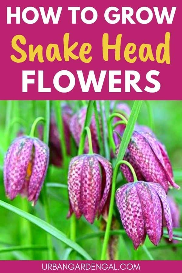growing snake head fritillaries