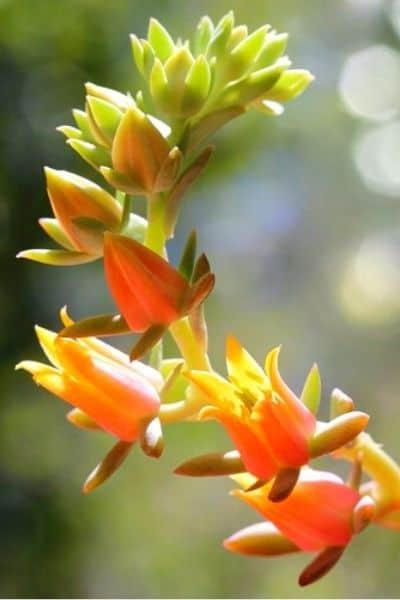 echeveria flower stalk