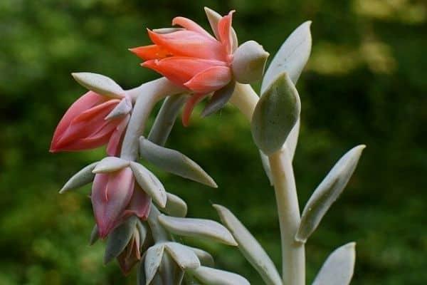 Echeveria Flower Guide