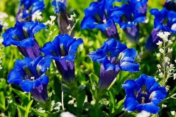 gentian flowers