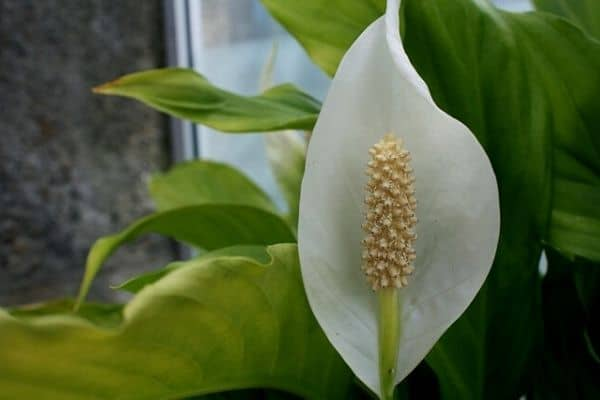 outdoor peace lily