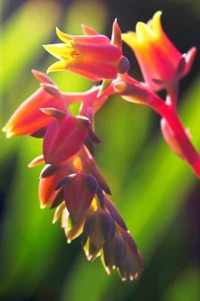 pink echeveria flower