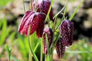 How To Grow Snake Head Fritillaries