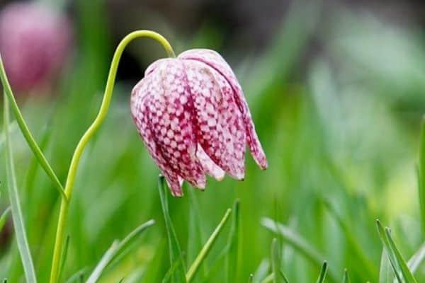snake head fritillaria flower