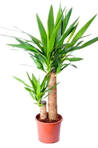 spiky yucca plant