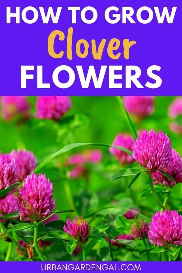 growing clover flowers