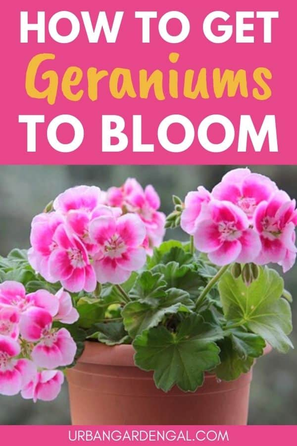 how to get geraniums to bloom