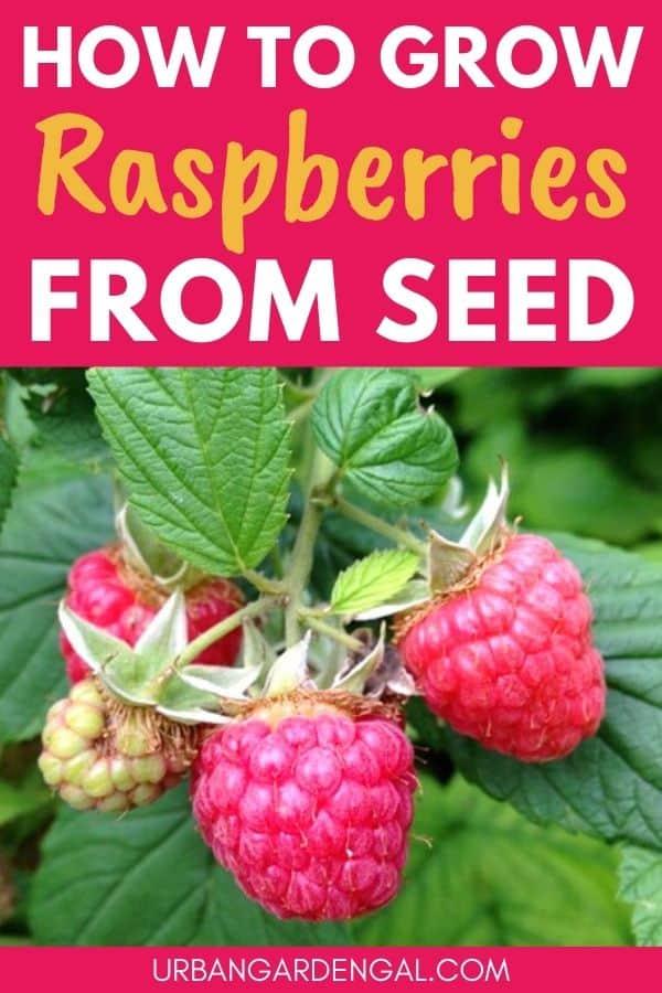 growing raspberries from seed
