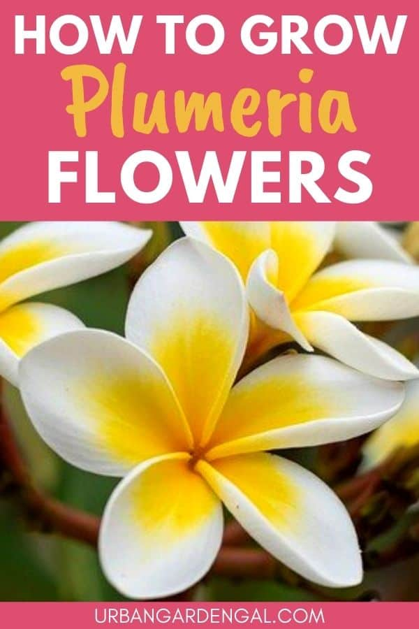 growing plumeria flowers