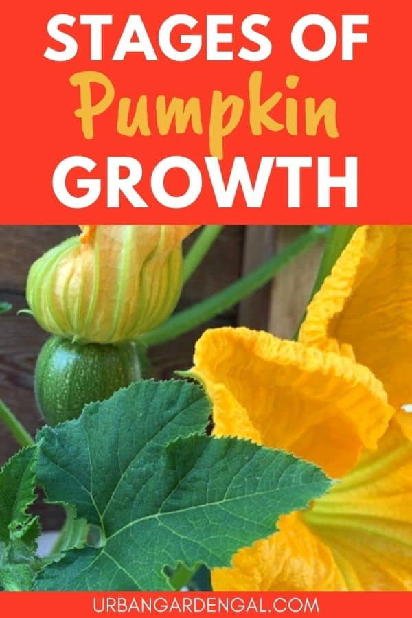 stages of pumpkin growth