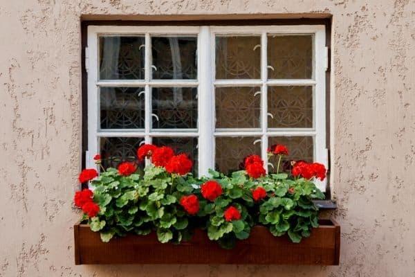 geranium flowers in a window box