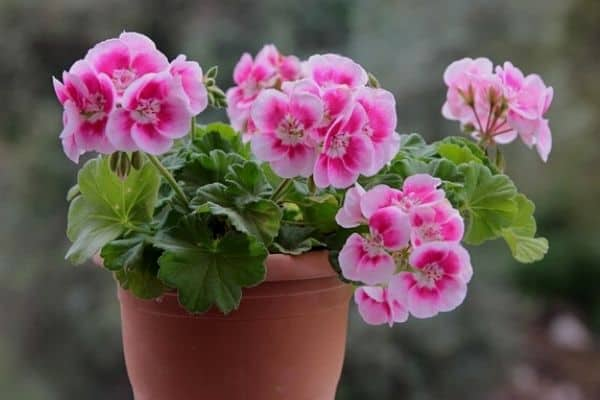 How To Get Geraniums To Flower