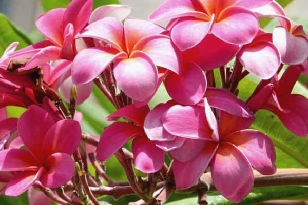 pink plumeria tree