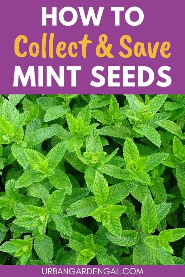 collecting mint seeds