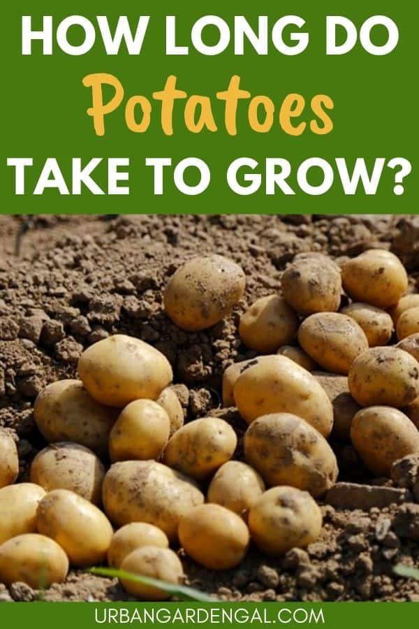 potato growth time
