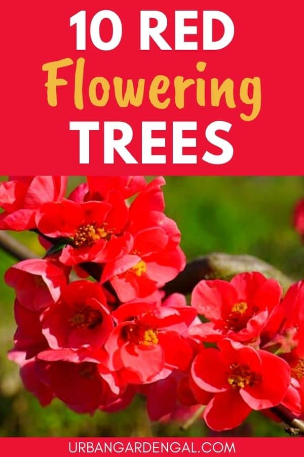 trees with red flowers