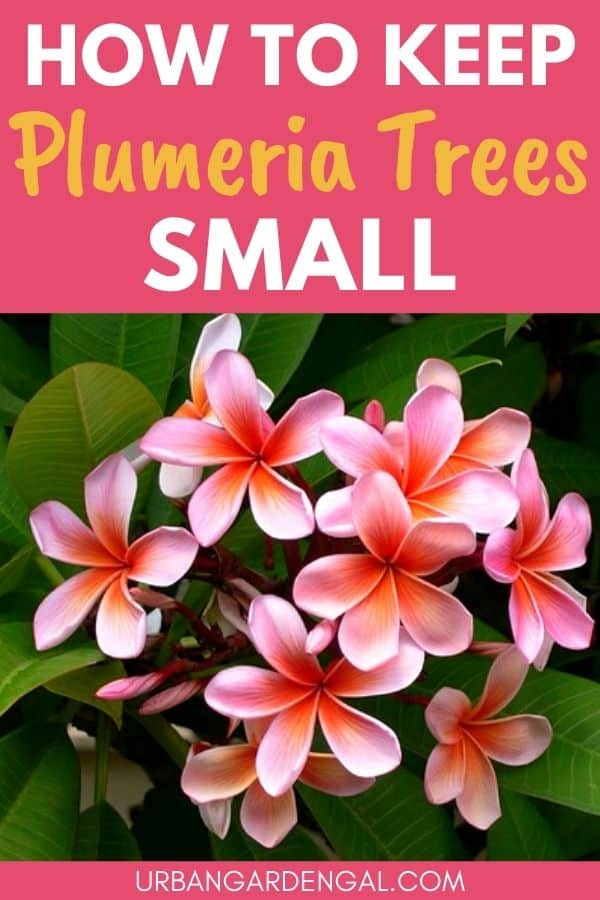 small frangipani trees