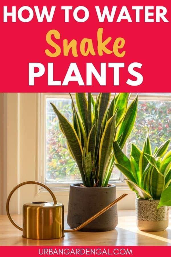 watering sansevieria plants