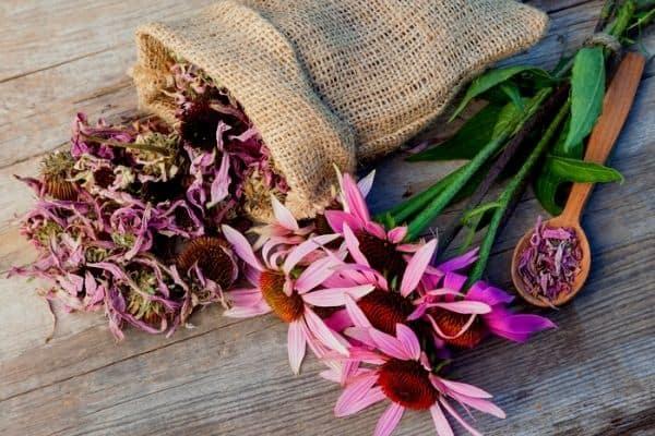 drying echinacea flowers