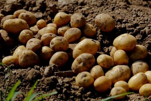 How Long Do Potatoes Take To Grow?