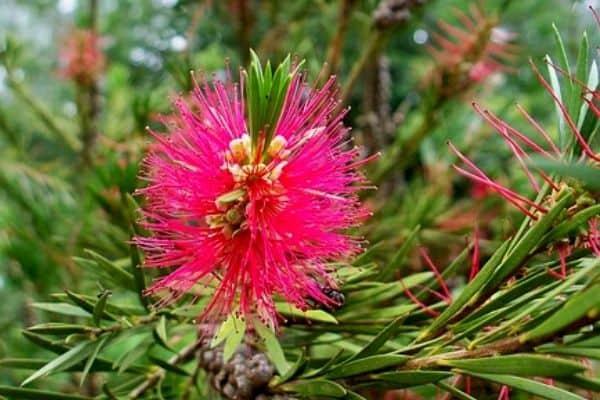 pink bottlebrush tree