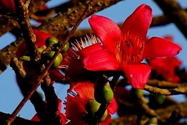 red silk cotton tree flowers