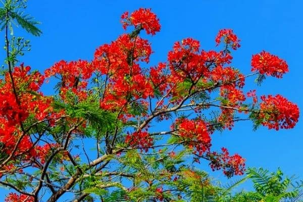 red poinciana tree